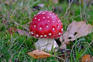 Картинки Вблизи Грибы природа Мухомор Траве Красная