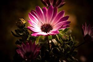 Фото Вблизи Остеоспермум Розовая Цветок Цветы