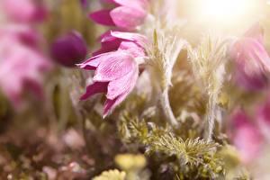 Картинка Вблизи Прострел Боке Розовая цветок
