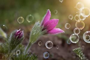 Картинка Вблизи Прострел Розовая Мыльные пузыри
