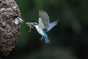 Фотография Обыкновенный зимородок Лягушка Птица Летящий Боке Крылья Гнезда животное