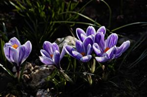 Фотография Шафран Вблизи Фиолетовая цветок