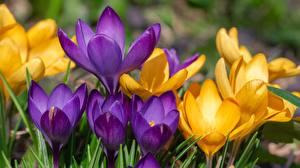 Обои для рабочего стола Шафран Вблизи Желтая Фиолетовая цветок