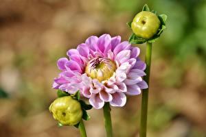 Обои Георгины Размытый фон Бутон Розовый цветок