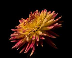 Фотографии Георгины Крупным планом На черном фоне цветок