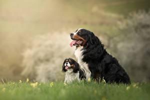 Фотография Собака Бернская овчарка 2 Щенки Траве животное
