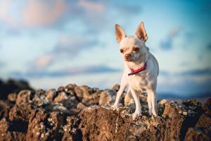 Картинка Собака Чихуахуа Белая Боке животное