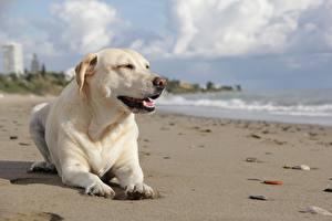 Фотография Собака Лабрадор-ретривер Пляжа Белая Лежа животное