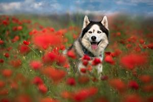 Картинка Собака Мак Луга животное