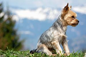 Фотографии Собака Йоркширский терьер Трава Сидящие Боке