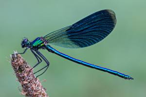 Фотография Стрекозы Вблизи Calopteryx virgo Животные