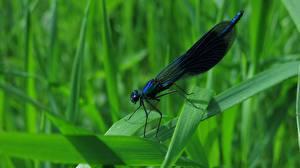 Фотография Стрекозы Вблизи Траве Calopteryx virgo