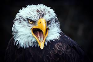 Фото Орлы Птицы Клюв Головы Язык (анатомия) животное