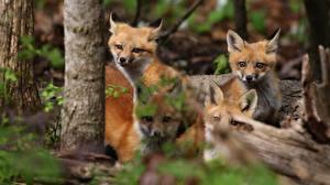 Фотография Лисы Детеныши Четыре 4 Животные