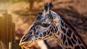 Фотографии Жирафы Крупным планом Голова Животные