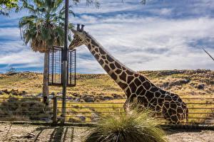 Фото Жирафы Пальмы