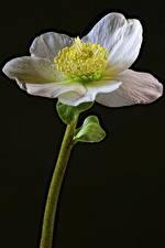 Обои Морозник Вблизи На черном фоне Белая цветок