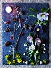 Фото Морозник Подснежники Улитки Ягоды Луна Ветка Шишка цветок