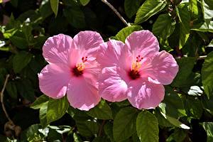 Обои Гибискусы Вблизи 2 Розовых цветок