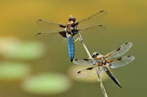 Обои Насекомое Стрекозы Боке 2 Крылья животное
