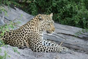 Картинки Леопард Лежачие Лап Усы Вибриссы