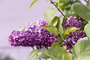 Фотографии Сирень Вблизи Фиолетовая Листва цветок