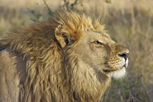 Фото Львы Морды Сбоку Голова животное