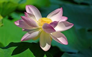 Фотография Лотос Вблизи Розовая цветок