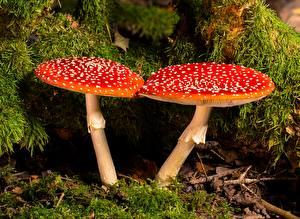 Картинки Грибы природа Мухомор Крупным планом Вдвоем Красные Мха