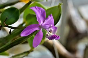 Фотографии Орхидея Вблизи Боке Фиолетовая цветок