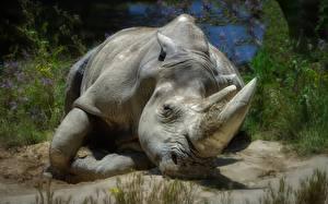 Картинка Носороги HDRI Животные