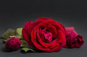 Фото Розы Вблизи Красная Цветы