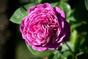 Фотография Роза Розовые Цветы