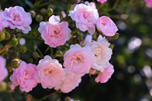 Фотографии Роза Кустов Боке Розовый Цветы