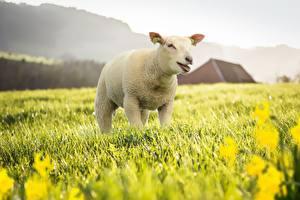 Обои Овцы Луга Траве животное