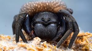 Фотографии Пауки Вблизи lycosa tarantula Животные