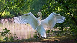 Обои Лебеди Крылья Вид сзади животное