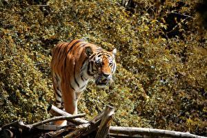 Картинка Тигры Смотрит