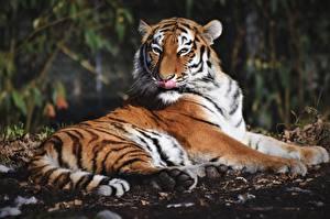 Фото Тигр Лежа Языком животное