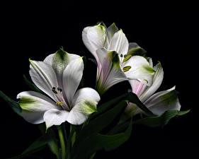 Обои Альстрёмерия Вблизи На черном фоне Белая цветок