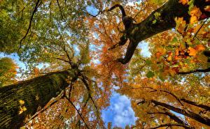 Обои для рабочего стола Осень Ствол дерева Вид снизу На ветке Природа