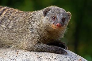 Картинка Смотрит Banded mongoose животное