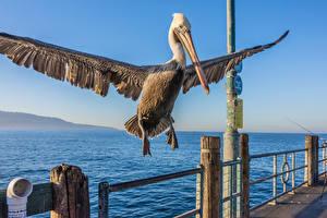Фотография Птица Пеликаны Клюв Крылья животное