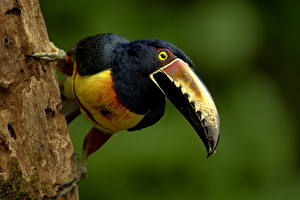 Картинка Птица Туканы Клюв Collared Aracari животное
