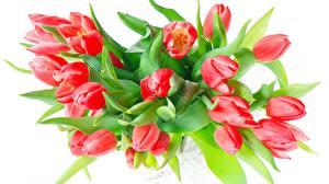 Обои для рабочего стола Букет Тюльпан Белом фоне Красная цветок