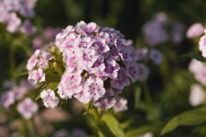 Фото Гвоздики Крупным планом Размытый фон Dianthus barbatus Цветы