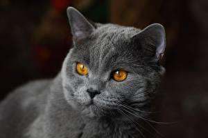 Фотография Коты Британская короткошёрстная Морды Смотрит Серая