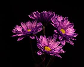 Картинка Хризантемы Вблизи На черном фоне Фиолетовая цветок