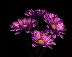 Картинка Хризантемы Вблизи На черном фоне Фиолетовая