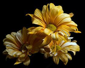 Фотографии Хризантемы Вблизи На черном фоне Желтая Цветы